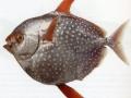 pesce-luna_O1
