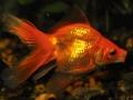 pesce-rosso_O3